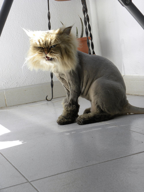 Shaved Pussy Cat Mini Lion Hear Me Roar The Mad Cat Lady